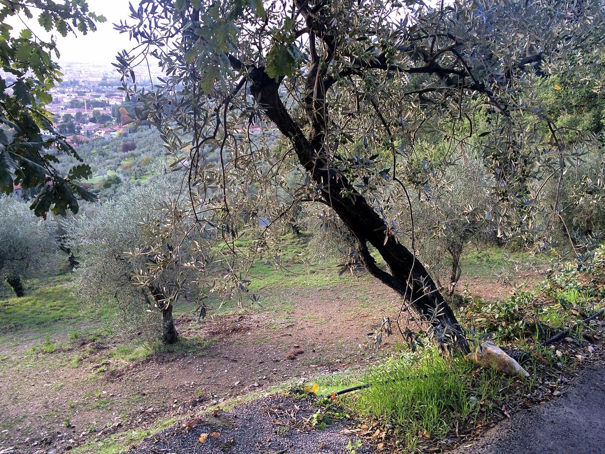 olive-tree-groves-by-johanna-juni-lee